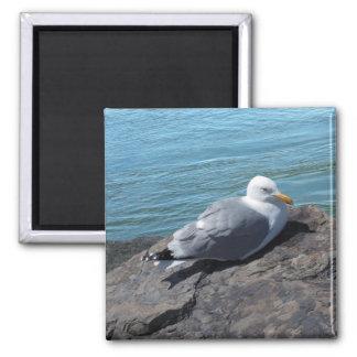 Herring Gull Resting on Rock Jetty: Square Magnet