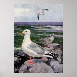 Herring Gulls on Rocky Shoreline Print