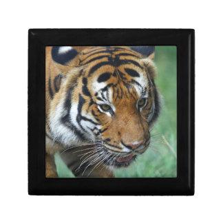 Hi-Res Malay Tiger Close-up Gift Box