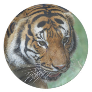 Hi-Res Malay Tiger Close-up Plate
