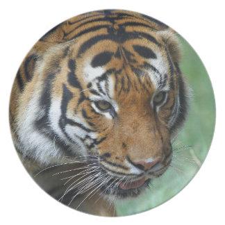 Hi-Res Malay Tiger Close-up Plate
