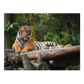 Hi-Res Malay Tiger Lounging on Log Postcard