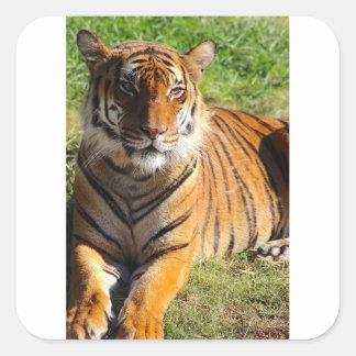 Hi-Res Malayan Tiger Square Sticker