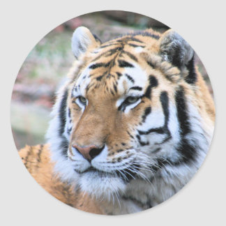 Hi-Res Stoic Royal Bengal Tiger Classic Round Sticker