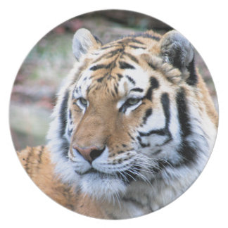 Hi-Res Stoic Royal Bengal Tiger Plate
