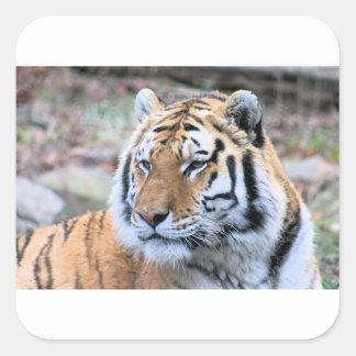 Hi-Res Stoic Royal Bengal Tiger Square Sticker