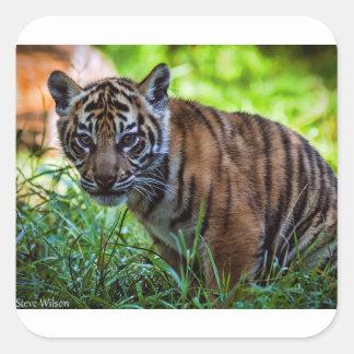 Hi-Res Sumatran Tiger Cub Square Sticker