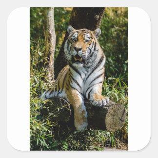 Hi-Res Tiger in Muenster Square Sticker