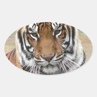 Hi-Res Tigres in Contemplation Oval Sticker
