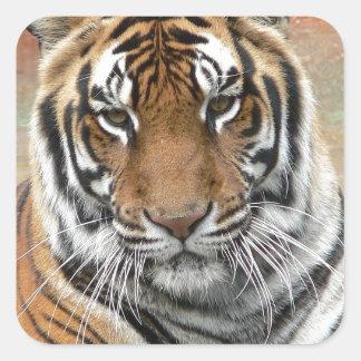 Hi-Res Tigres in Contemplation Square Sticker