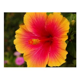 hibiscus 3 postcard