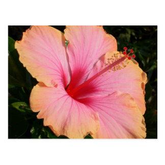 hibiscus 5 postcard