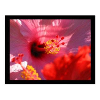 Hibiscus Blossoms Postcard