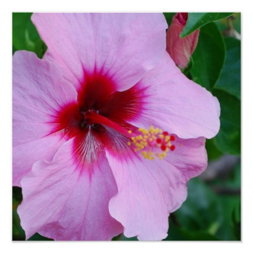Hibiscus Flower Blossom Poster