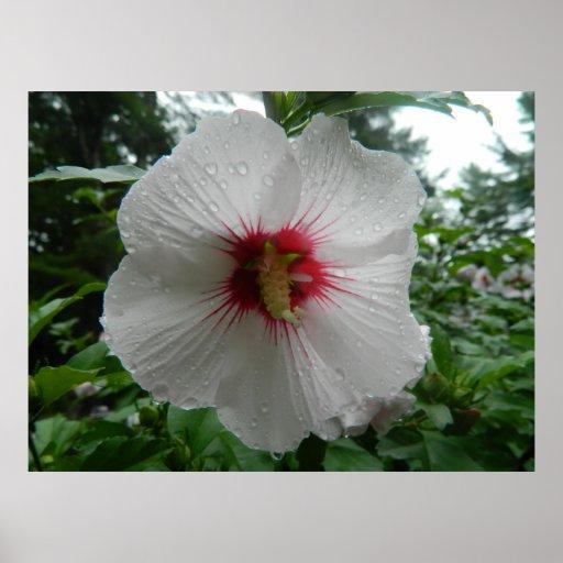 Hibiscus Flower in The Rain Print