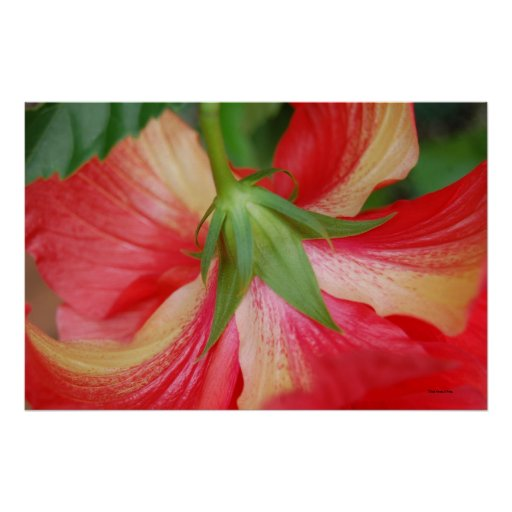 Hibiscus Flower Posters