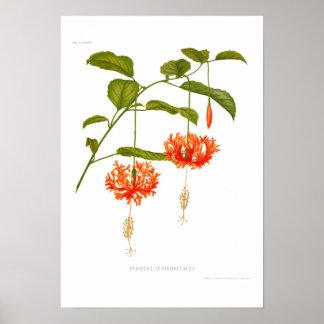 Hibiscus schizopetalus poster