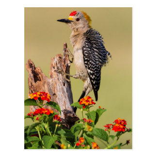 Hidalgo County, Texas. Golden-fronted Woodpecker 2 Postcard