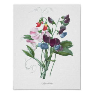 HIGHEST QUALITY Botanical print of Sweet Pea