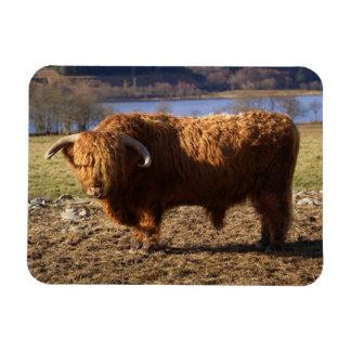 Highland Cattle Bull, Scotland Rectangular Photo Magnet