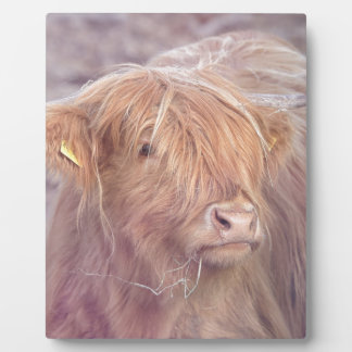 Highland Cow, Highland Cattle Photo Plaque