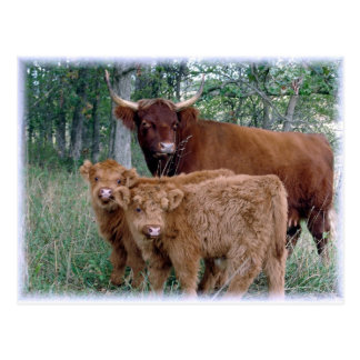 Highland Cow with Calves Postcard