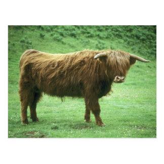 Highland Steer, Island of Mull, Inner Postcard