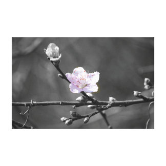 Hint of Pink Cherry Blossom Stretched Canvas Print