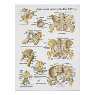 Hip Pelvis Anatomy Ligaments and Bones Poster