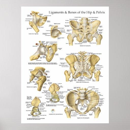 Hip Pelvis Anatomy Ligaments and Bones Print