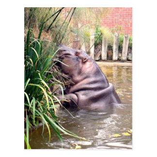 Hippo_Determination,_ Postcard