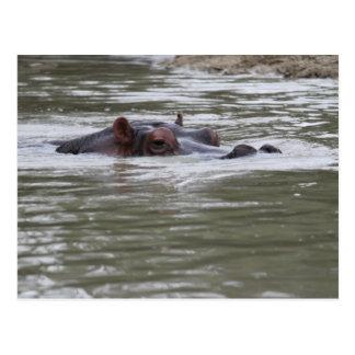 Hippopotamus DIVE DIVE DIVE - @ Auckland Zoo Postcard