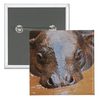 Hippopotamus swimming pinback button