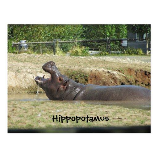 Hippopotamus Taking a Drink Postcard