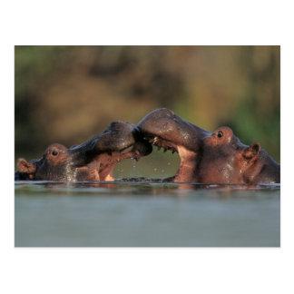 Hippos (Hippopotamus Amphibius) Wrestling Postcard