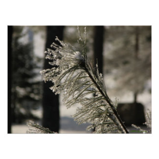 Hoarfrost On Pine Branch Poster