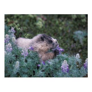 Hoary marmot feeding on silky lupine, Exit Postcard