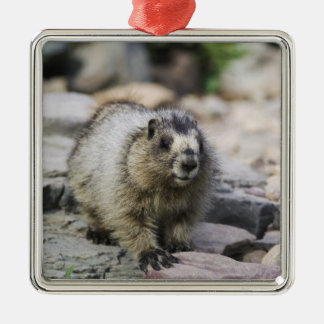 Hoary Marmot, Marmota caligata, young with Silver-Colored Square Decoration