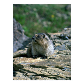 Hoary Marmot Postcard