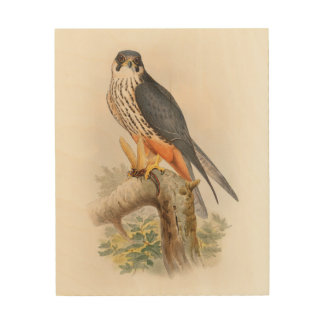 Hobby Falcon John Gould Birds of Great Britain Wood Print