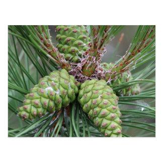 Holiday Pine Cones Postcard