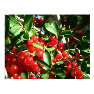 Holly Berries Postcard