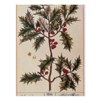 Holly from 'A Curious Herbal', 1782 Postcard