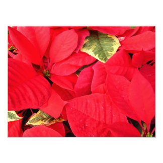 Holly Point Poinsettias Holiday Photo Print