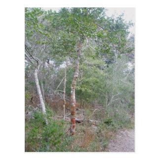 Holly Tree Bark OBX Postcard