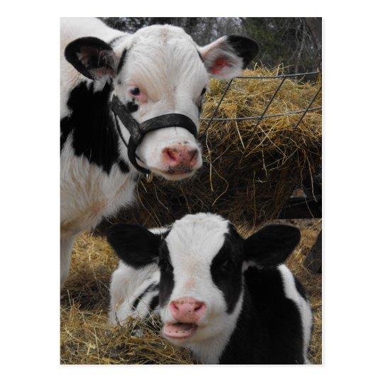 Holstein Calves Postcard