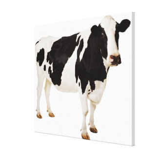 Holstein cow (Bos taurus) Canvas Print