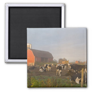 Holstein dairy cows outside a barn at sunrise square magnet