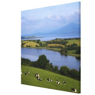 Holstein-Fresian Cattle, Bantry Bay, Co Cork, Canvas Prints
