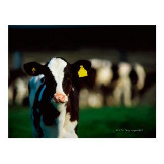 Holstein-Friesian calf Postcard
